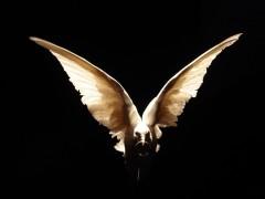 Untitled (White dove)