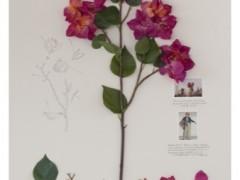 Herbarium of Artificial Plants, Bougainvillea (Herbario de Plantas Artificiales, Bugambilia Baret o Baretillia)